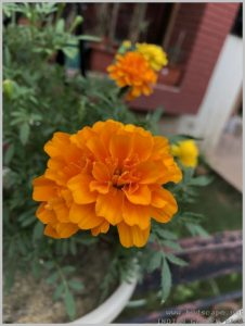 marigold-flower-container