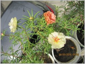 portulaca yogurt