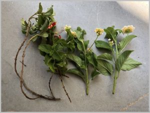 propagate lantana cuttings