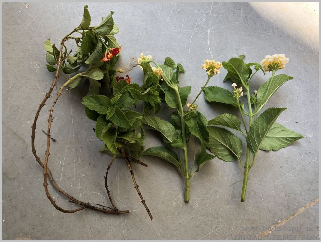 Growing Lantana Plants From Cuttings Gardening For Beginners