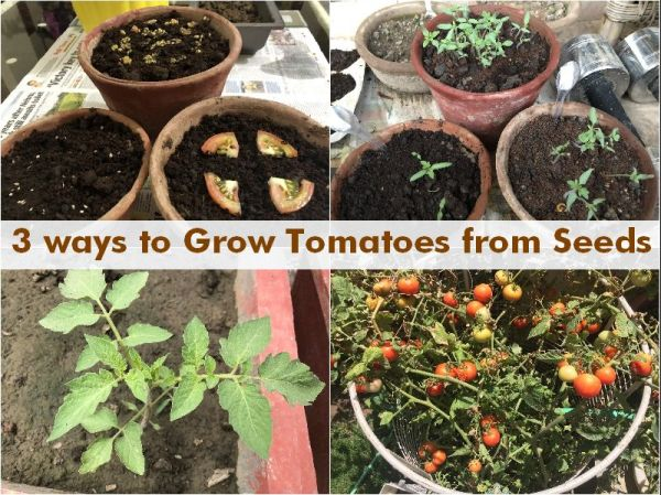 3 Ways Grow Tomatoes Home Seeds Gardening For Beginners