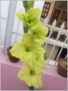 green gladiolus flower bulb
