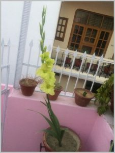 grow green gladiolus bulb