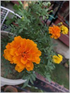 grow marigold pots