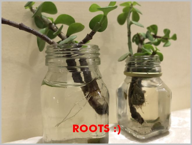 Rooting Succulents In Water Propagate Jade Plant
