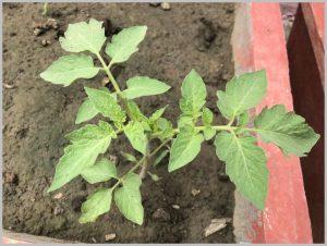 grow-tomato-pots-india