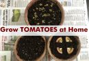 grow tomatoes from seeds