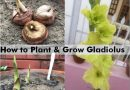 how plant grow gladiolus flower bulb