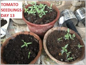 how-to-grow-tomato-home