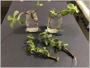 propagate succulent water
