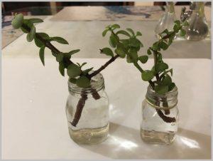 root succulent water jade