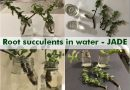 root succulents water jade