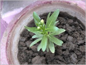 STOCKS FLOWER SEEDLING IDENTIFICATION