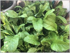 grow-spinach-palak-pots