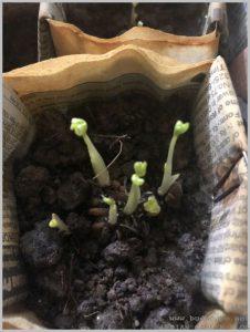 prevent-flower-bulbs-rotting-4