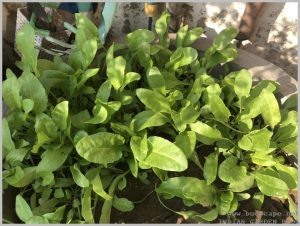 spinach-palak-grow-home