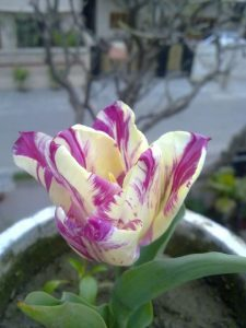 buy-tulip-bulbs-online-india-1