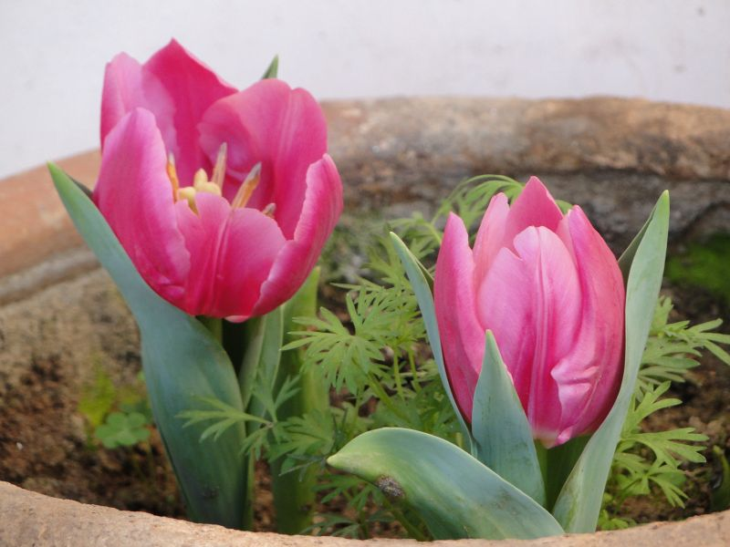 Where To Buy Tulip Bulbs Online In India Gardening For