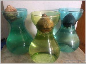 grow-hyacinth-bulb-water-2