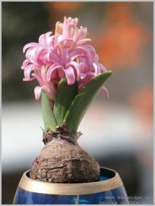 grow-hyacinth-bulb-water