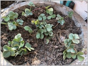 how-grow-strawberries-home