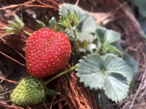 how-grow-strawberry-at-home
