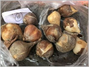 where-buy-tulip-bulbs-online-india