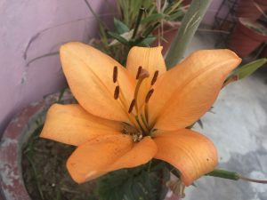 asiatic-lily-orange-lilium
