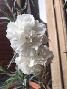 carnation-white-big