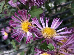 chrysanthemum-guldaudi-tube-petals