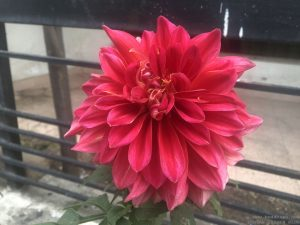 dahlia-large-coral