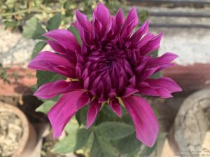 dahlia-large-pink-purple