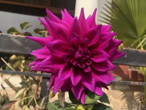 dahlia-large-purple