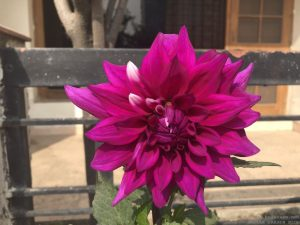 dahlia-large-purple-white
