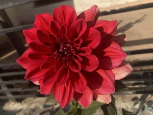 dahlia-large-red