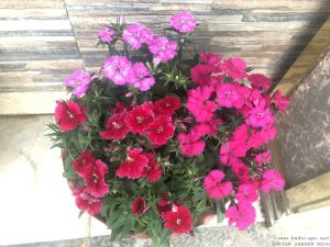 dianthus-pot-mixed