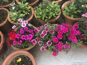 dianthus-pots-mixed