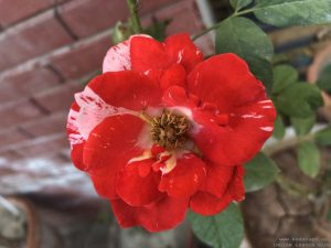 double-color-rose-red-white
