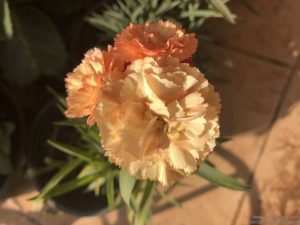 dwarf-carnation-peach