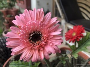 gerbera-african-daisy-pink-red