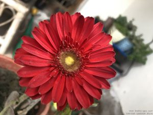 gerbera-red-close-up