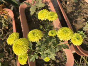 green-guldaudi-chrysanthemum
