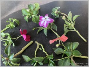 grow-impatiens-cuttings