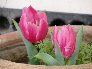grow-tulip-north-india-punjab-delhi