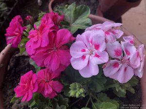 hanging-geranium-ivy-pink