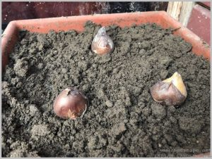 how-plant-tulip-bulbs