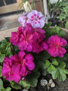 ivy-geranium-pots