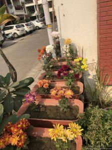 mixed-color-guldaudi-chrysanthemum-pots