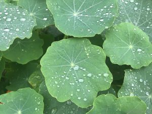 nasturtium-leaves-rainfall