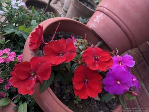 new-guinea-impatiens-pink-red